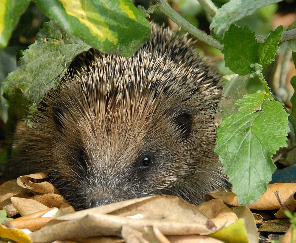 Hedgehogs - Peoples Trust for Endangered SpeciesPeoples Trust for ...