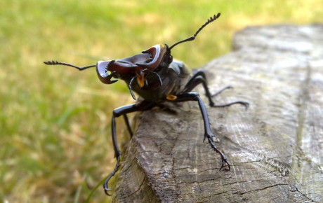 Stag beetle on stump by Claire-Louise Park