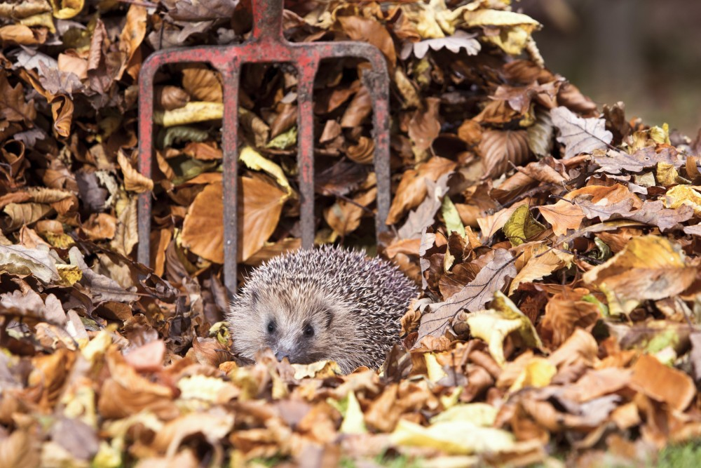 Hedgehog and pitchfork by Oliver Wilks Images