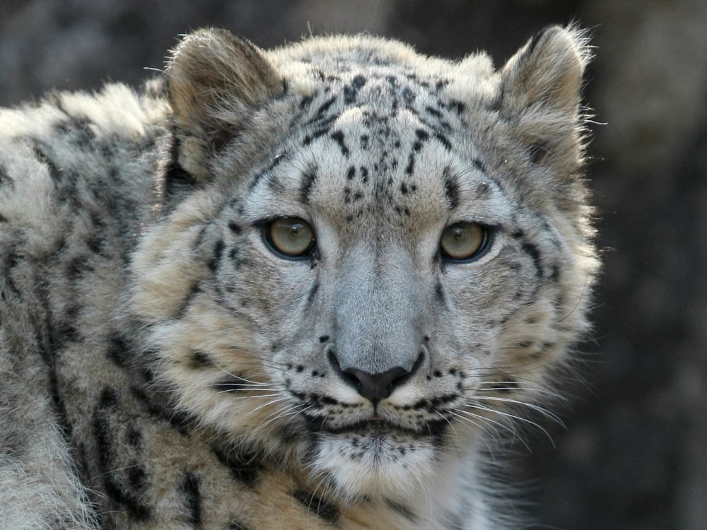 Snow leopard by Steve Tracy, Courtesy of the Snow Leopard Trust