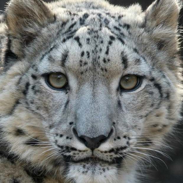 Snow leopard face by Steve Tracy, Courtesy of the Snow Leopard Trust