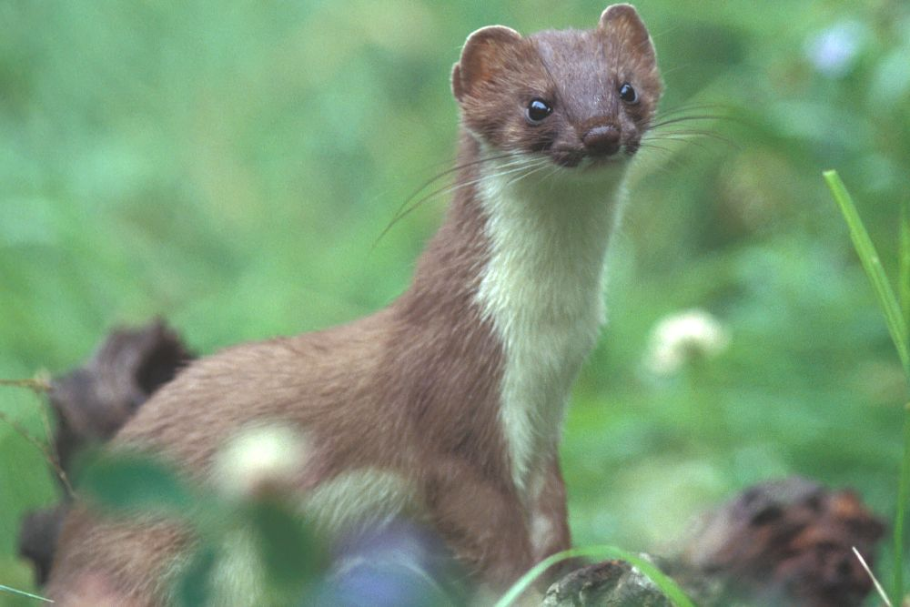 Stoat by Vic Sharratt