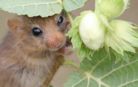 hazel dormouse by John Webley uk mammal grant ptes