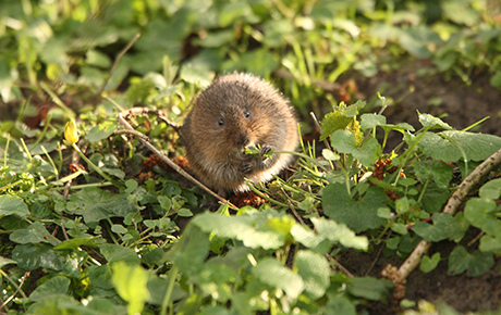 water vole by Iain Green