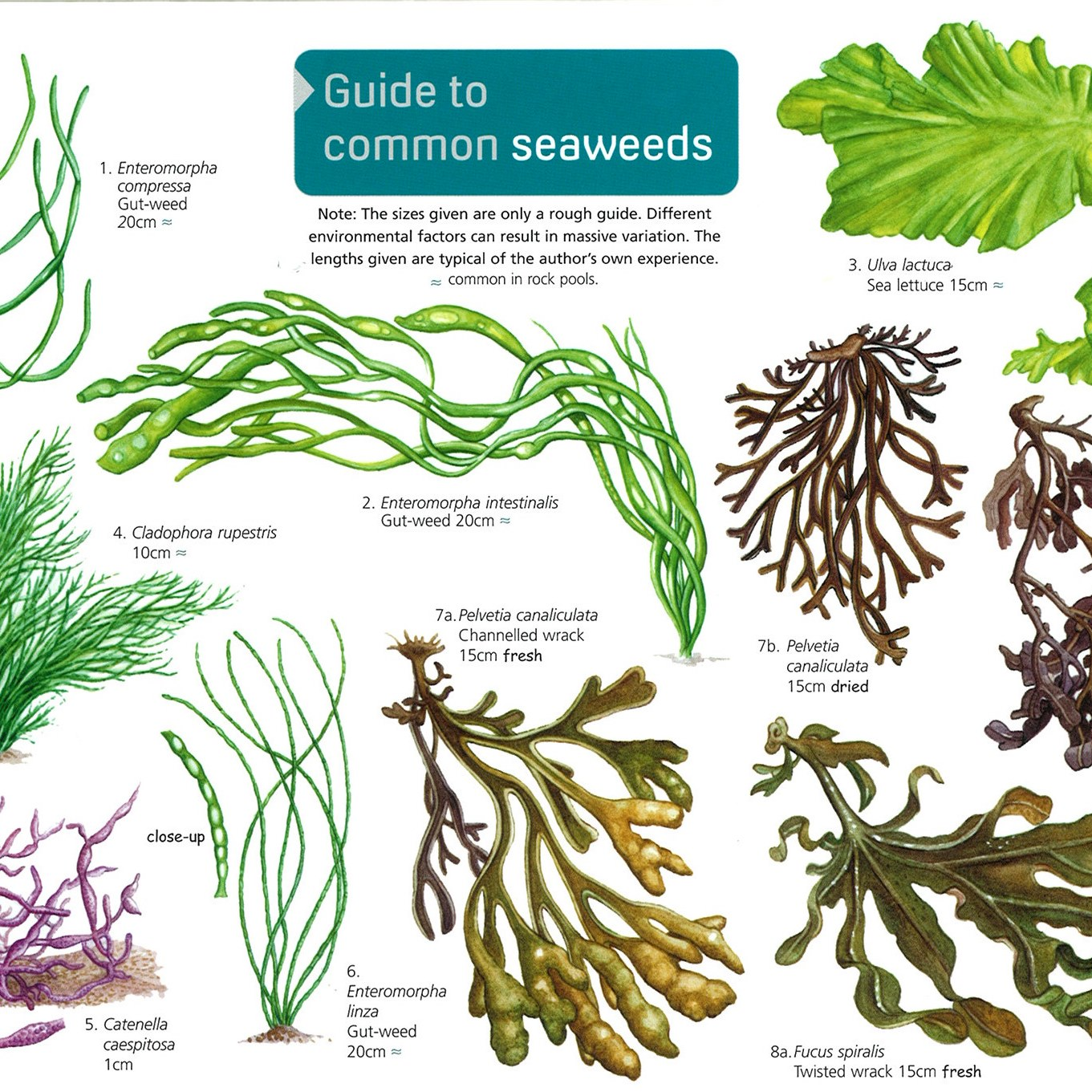 Gifts For 25 Common Seaweeds People S Trust For Endangered Species