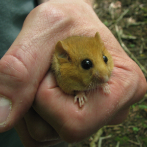 dormouse in hand