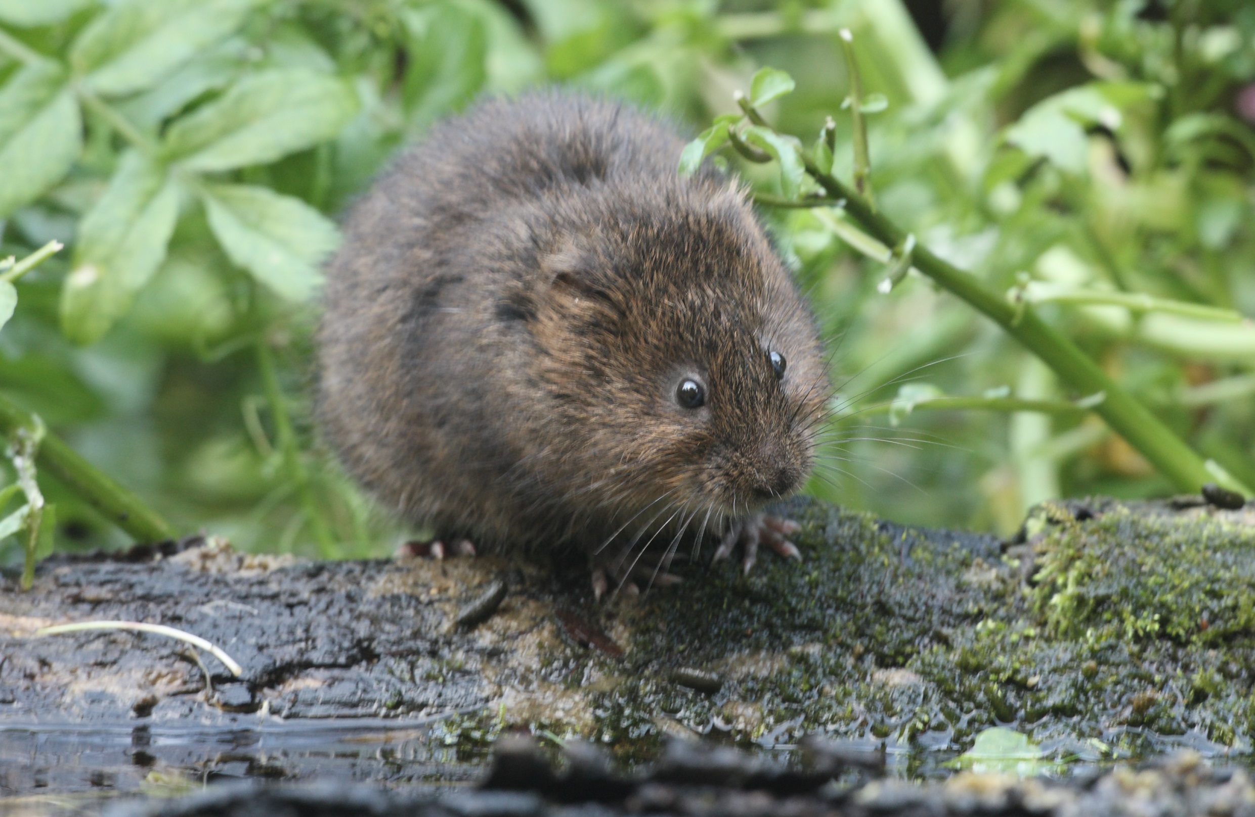 Water vole by Mike Lane