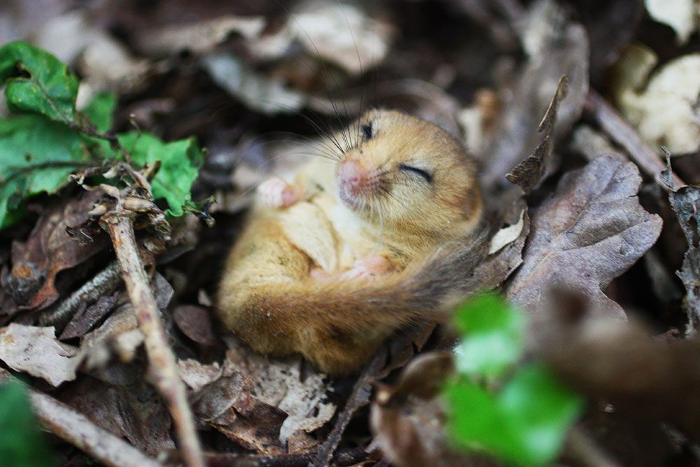 Hazel-dormouse-ecology-PTES-Photo-credit-Jamie-Edmonds