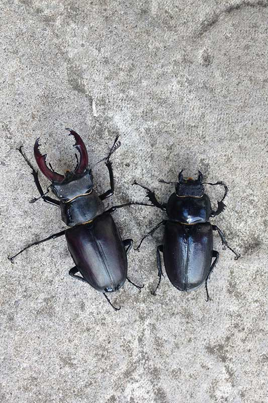 Male and female stag beetle side by side
