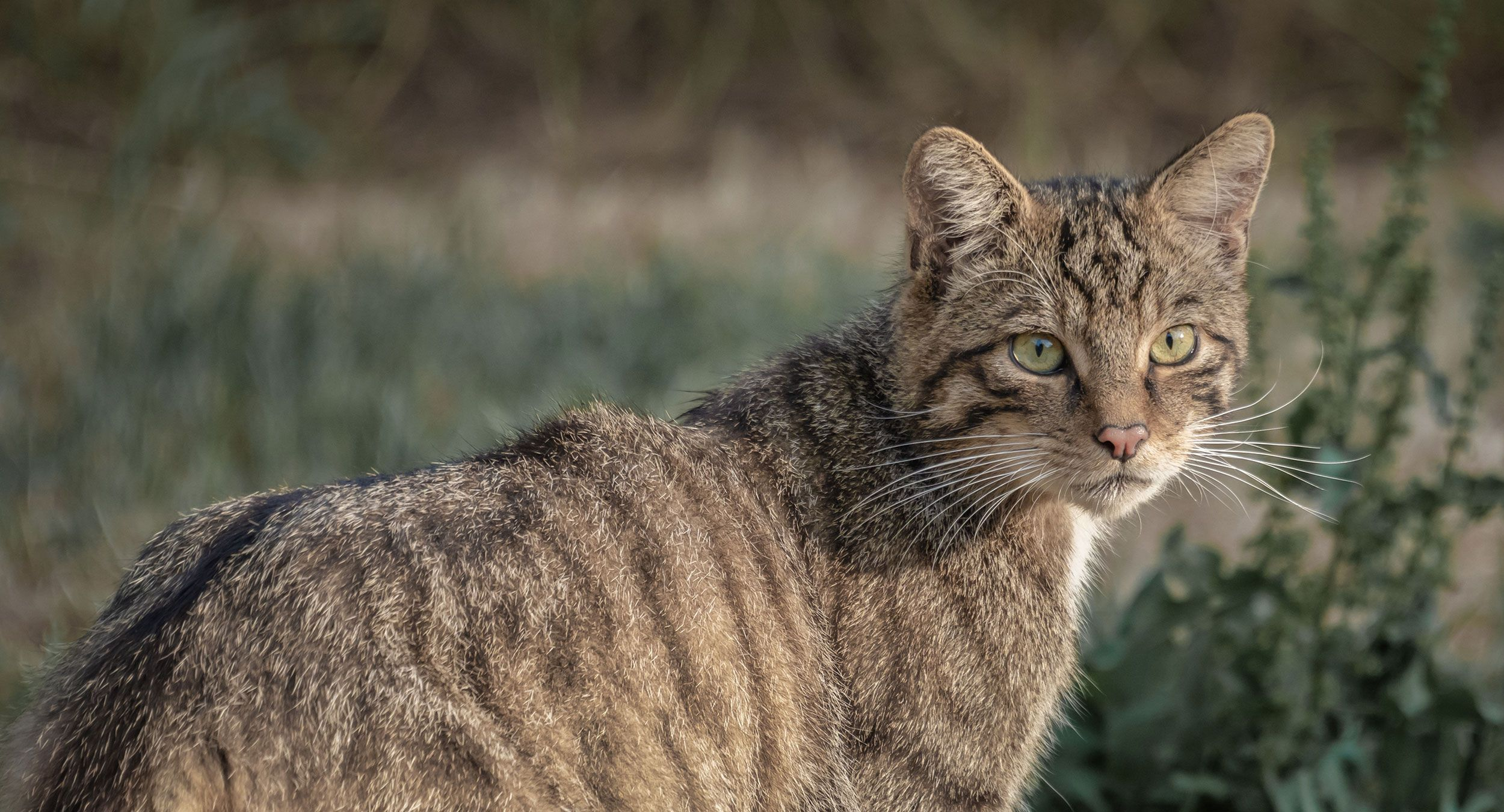 Wildcat-shutterstock-Alan-Tunnicliffe-Which-cats-are-whichUnderstanding-hybridisation-in-Scottish-wildcats
